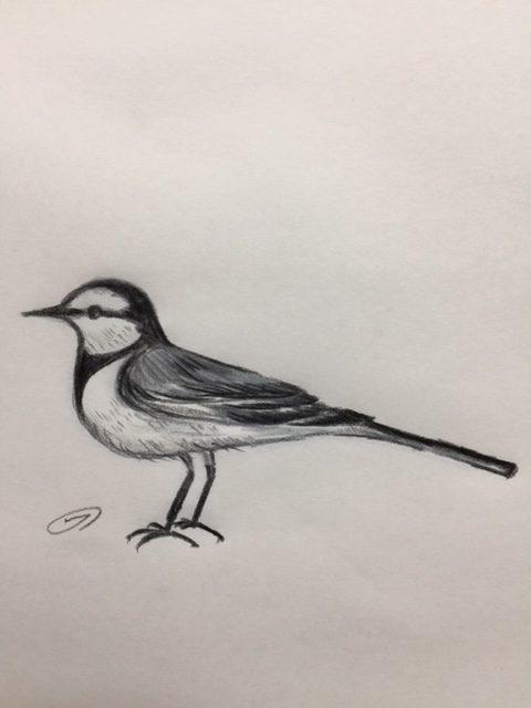 ハクセキレイ、身近な野鳥ナンバーワン