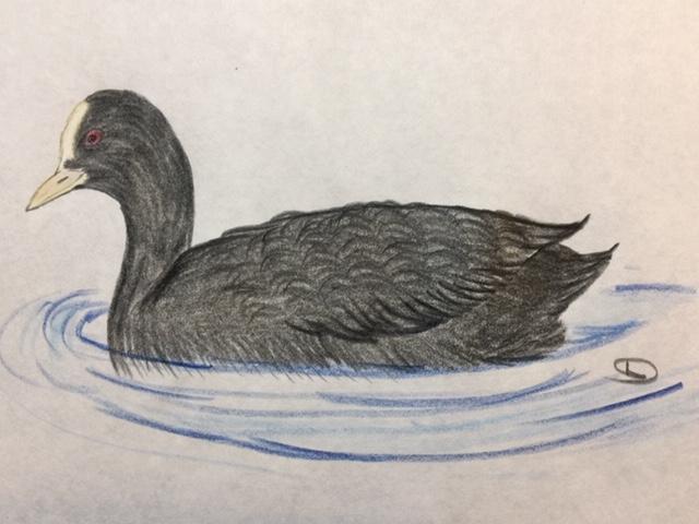 オオバン、一風変わった黒い水鳥