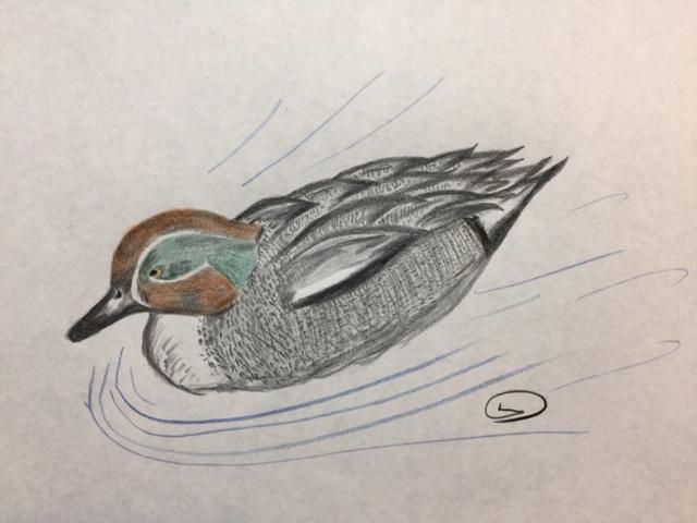 コガモ 水鳥の中でも識別しやすい