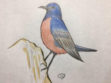 コバルトブルーとレンガ色が美しい、幸せの青い鳥イソヒヨドリ