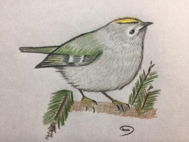 日本で最小サイズのキクイタダキ、ヨーロッパでは野鳥の王