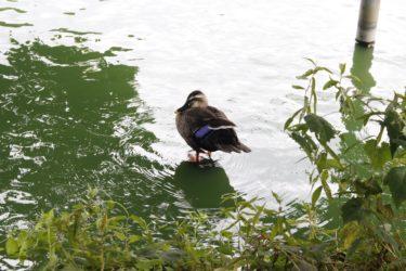 身近な水鳥 その種類と特徴を徹底解説!