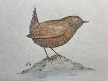 日本最小の愛すべき野鳥、ミソサザイ