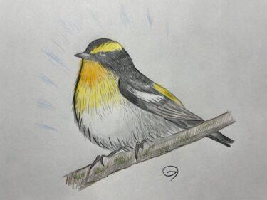 キビタキの鳴き声に思わず耳をすます!初夏の新緑に映える黄色